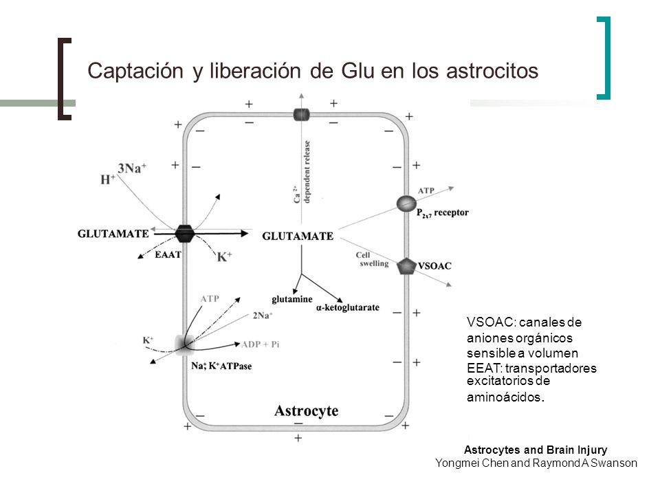 Captación y liberación de Glu en los astrocitos Astrocytes and Brain Injury Yongmei Chen and Raymond A Swanson VSOAC: canales de aniones orgánicos sen