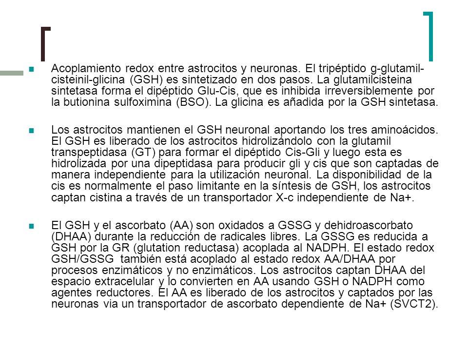 Acoplamiento redox entre astrocitos y neuronas. El tripéptido g-glutamil- cisteinil-glicina (GSH) es sintetizado en dos pasos. La glutamilcisteina sin