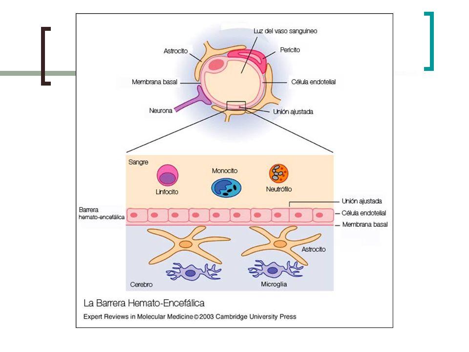 Lanzadera de alanina: es translocado en dirección opuesta a la glutamina, es decir de las neuronas a los astrocitos.