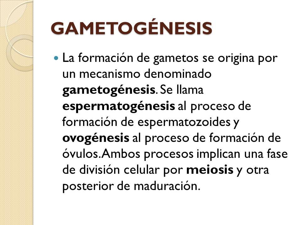 ejercicios 1) ¿Qué tipos de división celular se producen en la gametogénesis.