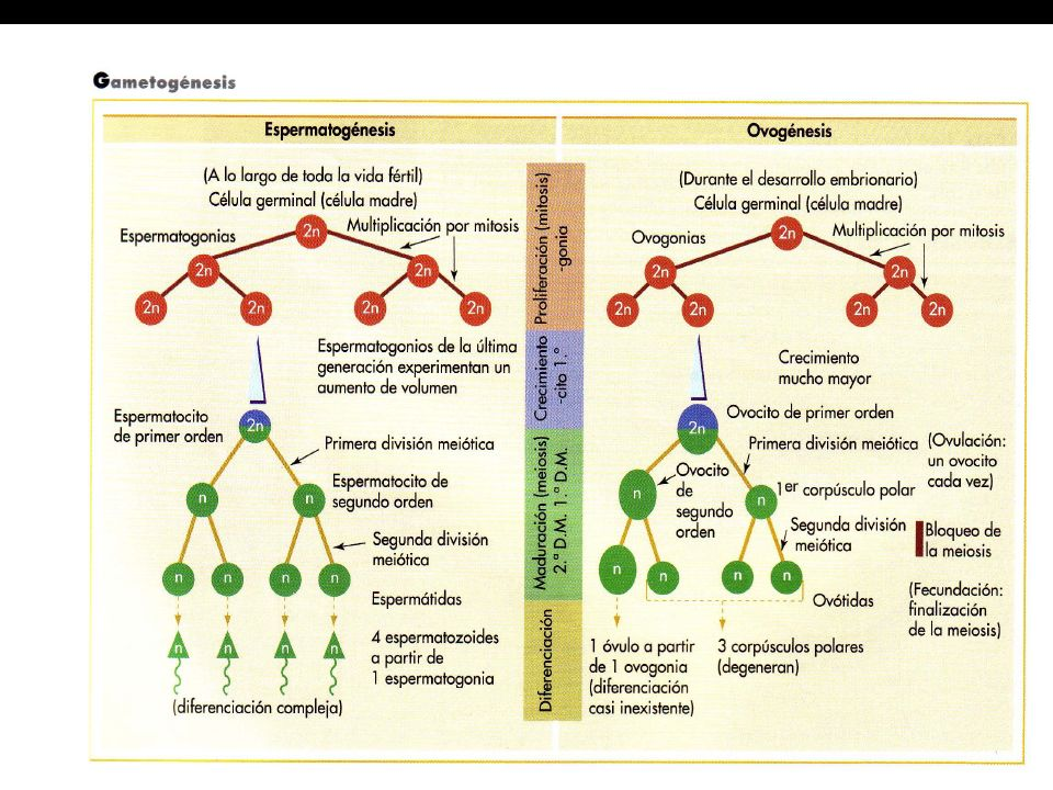 Espermatogénesis: diferenciación Las espermátidas, sufren la diferenciación transformándose en espermatozoides.