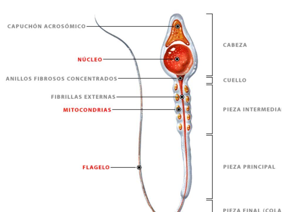 OVOGÉNESIS Tras la maduración todos los corpúsculos polares permanecen adosados al óvulo y acaban por atrofiarse, por tanto no son útiles como gametos.