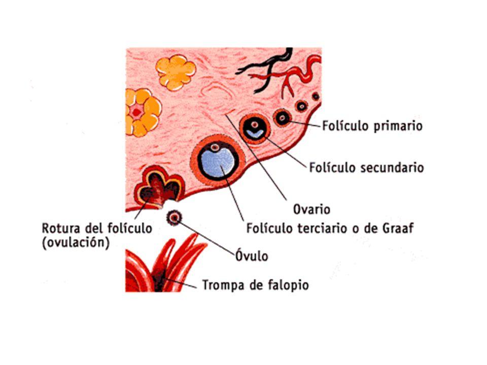 LA FECUNDACIÓN La fecundación es la unión de un espermatozoide y un óvulo.