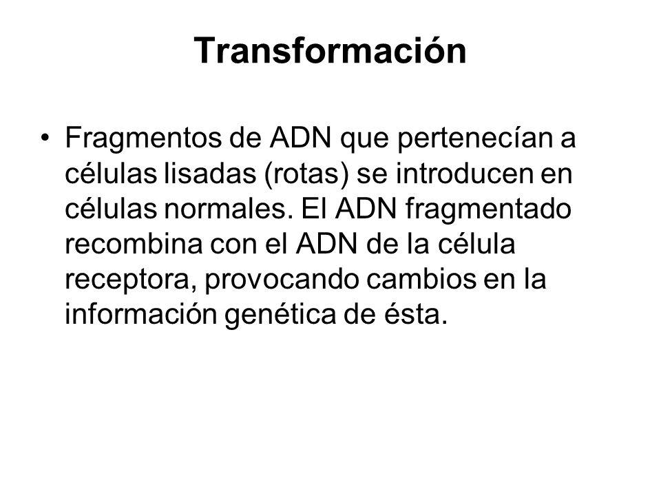 Transformación Fragmentos de ADN que pertenecían a células lisadas (rotas) se introducen en células normales. El ADN fragmentado recombina con el ADN