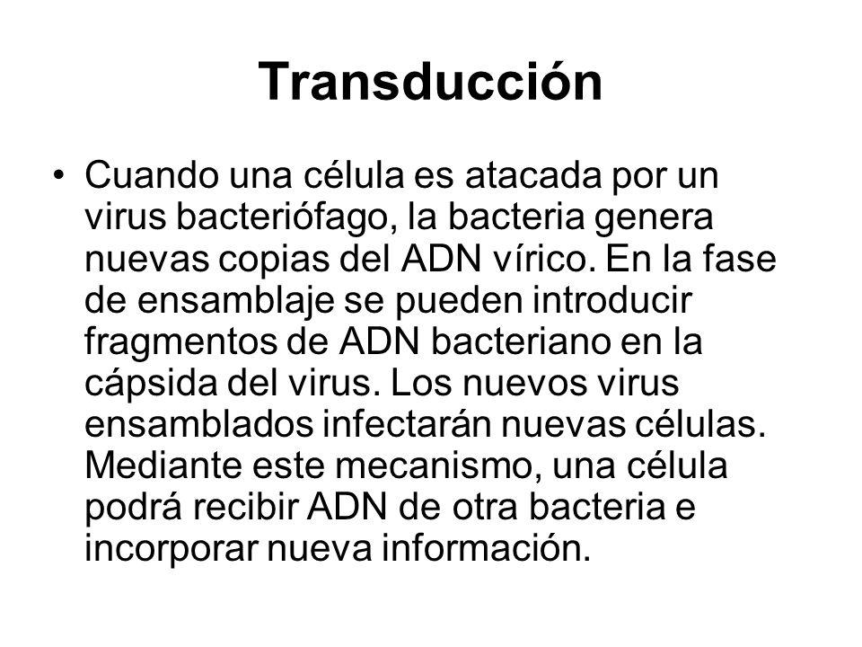 Transducción Cuando una célula es atacada por un virus bacteriófago, la bacteria genera nuevas copias del ADN vírico. En la fase de ensamblaje se pued
