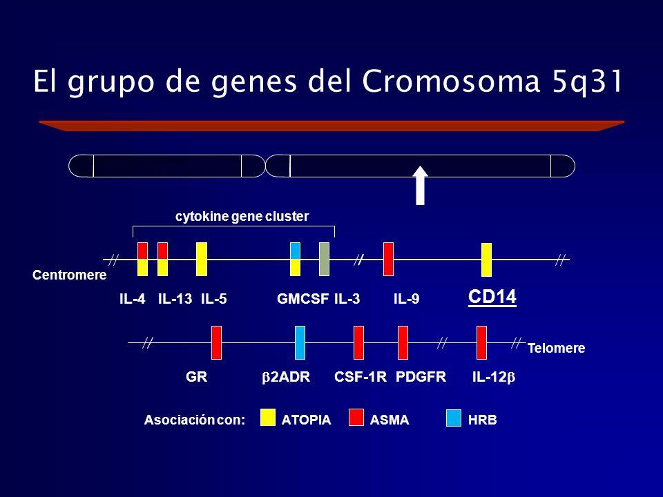 El grupo de genes del Cromosoma 5q31 Centromere Telomere GR 2ADR CSF-1R PDGFR IL-12 ATOPIAASMAHRBAsociación con: CD14 cytokine gene cluster IL-4 IL-13