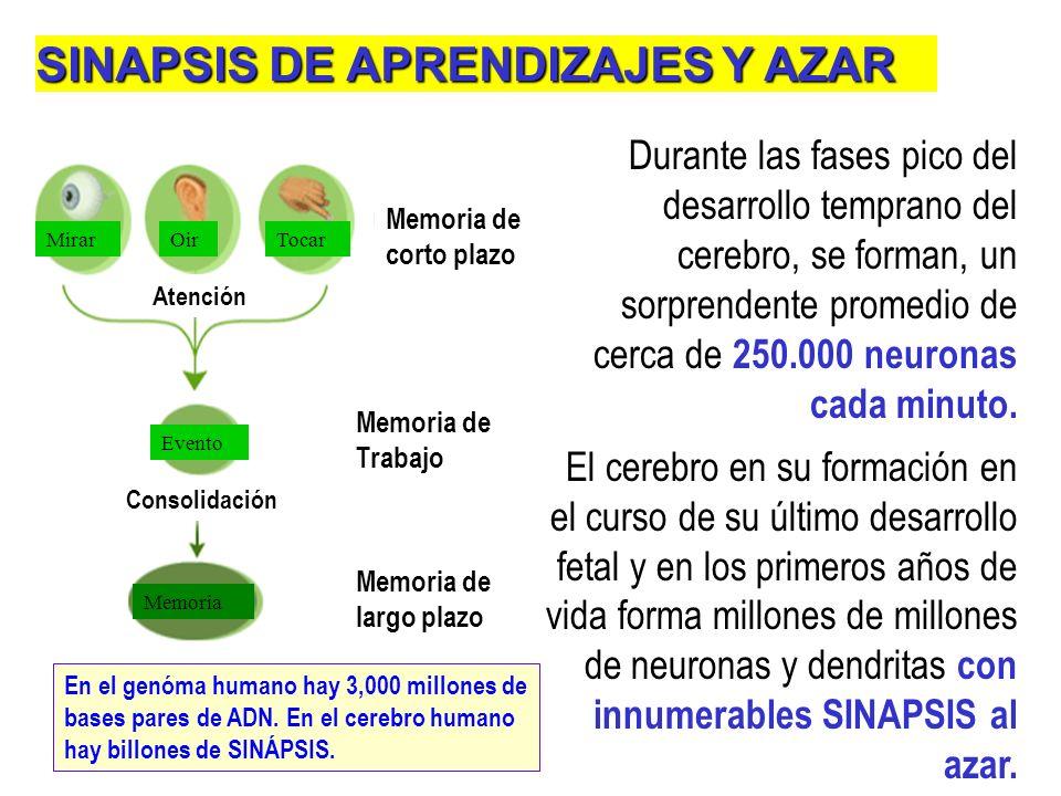 SINÁPSIS: ladrillos del aprendizaje. El aprendizaje es una alteración de las propiedades de las sinápsis. Una mol. importante es el AMP cíclico y la p