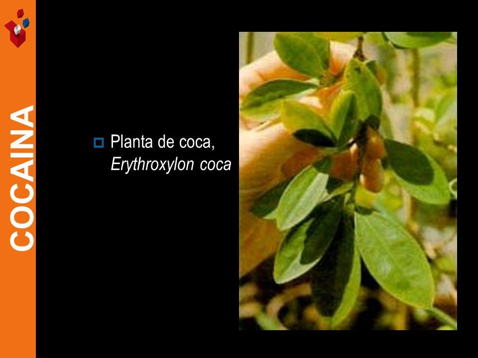 Planta de coca, Erythroxylon coca COCAINA