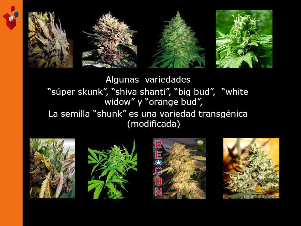 Algunas variedades súper skunk, shiva shanti, big bud, white widow y orange bud, La semilla shunk es una variedad transgénica (modificada)