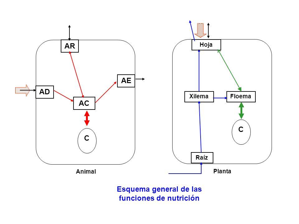 AD AE AC AR C Esquema general de las funciones de nutrición Animal Raíz Xilema C Planta Hoja Floema