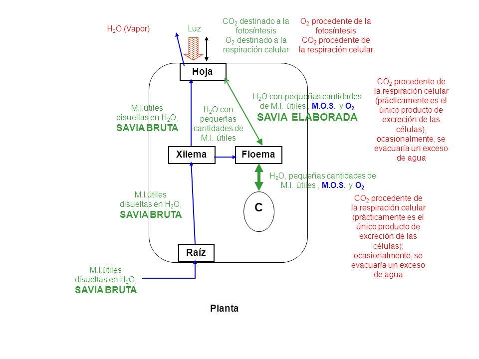 Raíz Xilema C Planta Hoja Floema M.I.útiles disueltas en H 2 O, SAVIA BRUTA M.I.útiles disueltas en H 2 O, SAVIA BRUTA M.I.útiles disueltas en H 2 O,
