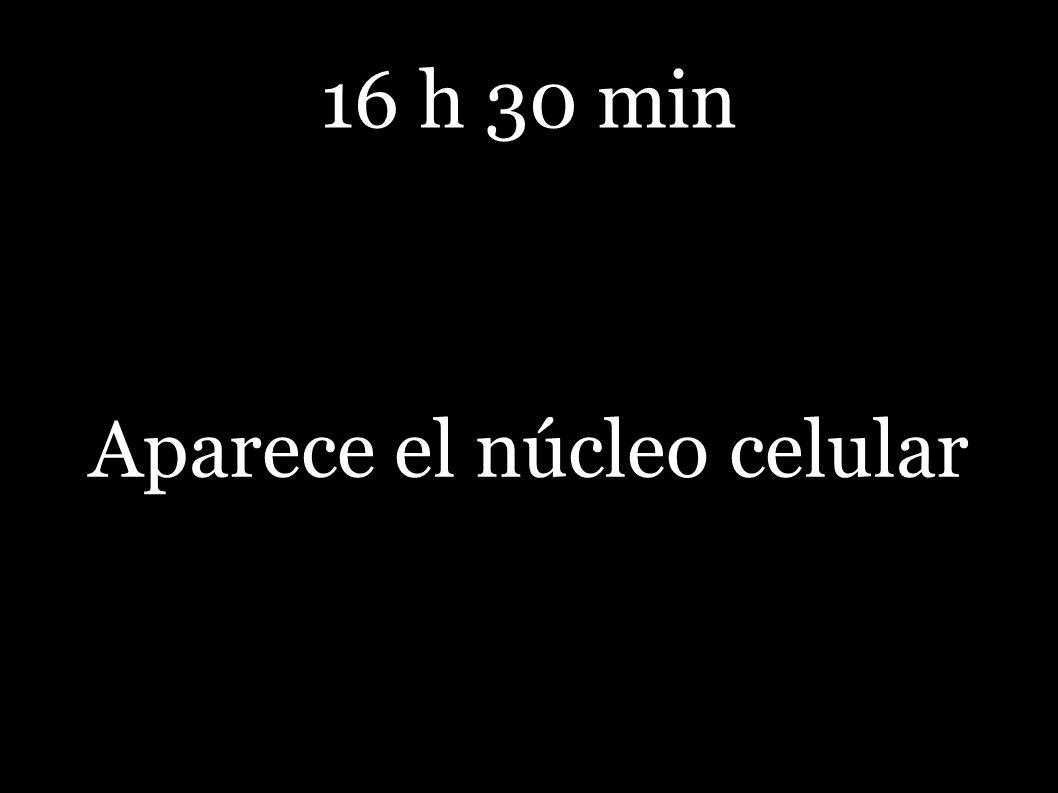 16 h 30 min Aparece el núcleo celular