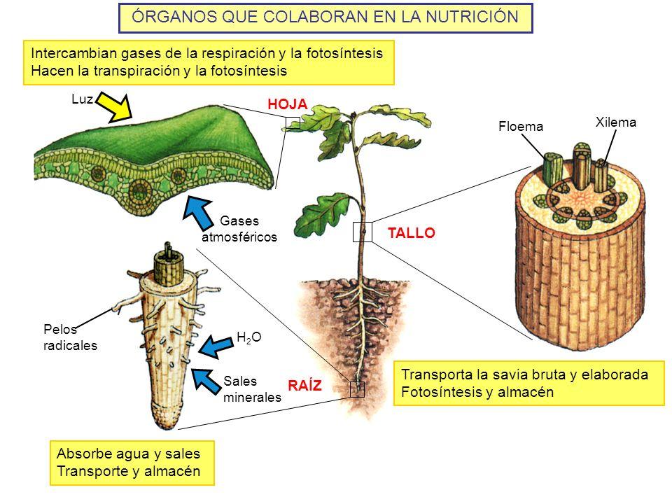ÓRGANOS QUE COLABORAN EN LA NUTRICIÓN Gases atmosféricos Luz HOJA RAÍZ TALLO Pelos radicales H2OH2O Sales minerales Floema Xilema Intercambian gases d