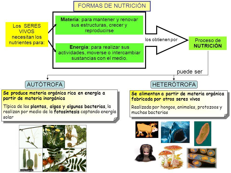 FORMAS DE NUTRICIÓN Proceso de NUTRICIÓN Materia: para mantener y renovar sus estructuras, crecer y reproducirse Energía: para realizar sus actividade