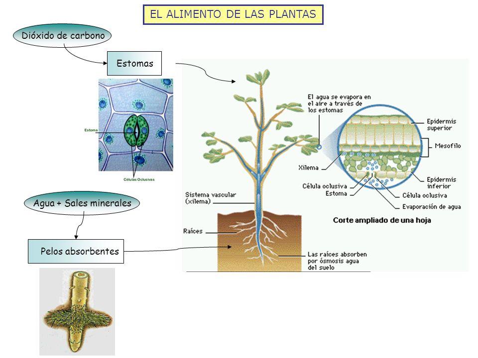 EL ALIMENTO DE LAS PLANTAS Agua + Sales mineralesPelos absorbentesDióxido de carbonoEstomas