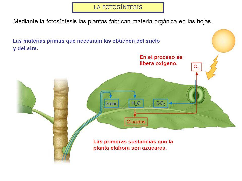LA FOTOSÍNTESIS Sales H2OH2OCO 2 O2O2 Glúcidos Mediante la fotosíntesis las plantas fabrican materia orgánica en las hojas. Las materias primas que ne