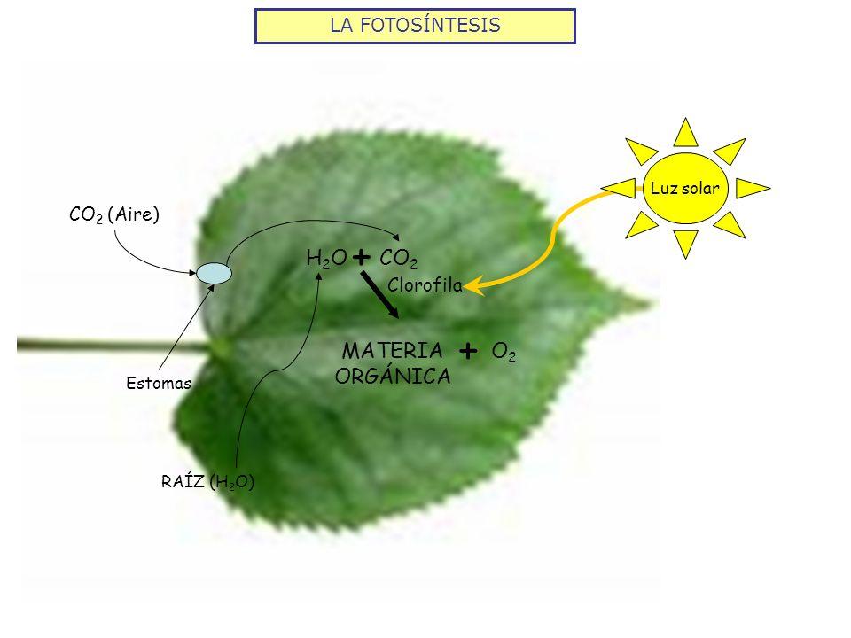 LA FOTOSÍNTESIS CO 2 + H2OH2O Estomas CO 2 (Aire) Clorofila Luz solar MATERIA ORGÁNICA O2O2 + RAÍZ (H 2 O)