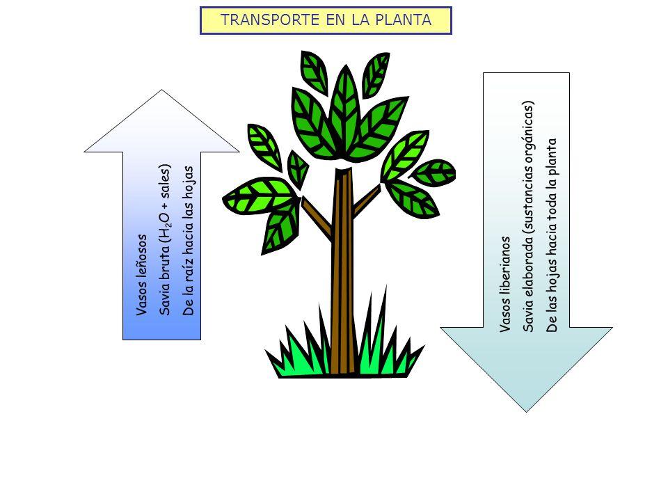 TRANSPORTE EN LA PLANTA Vasos leñosos Savia bruta (H 2 O + sales) De la raíz hacia las hojas Vasos liberianos Savia elaborada (sustancias orgánicas) D