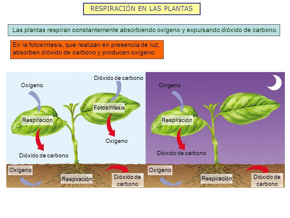 RESPIRACIÓN EN LAS PLANTAS Las plantas respiran constantemente absorbiendo oxígeno y expulsando dióxido de carbono. En la fotosíntesis, que realizan e