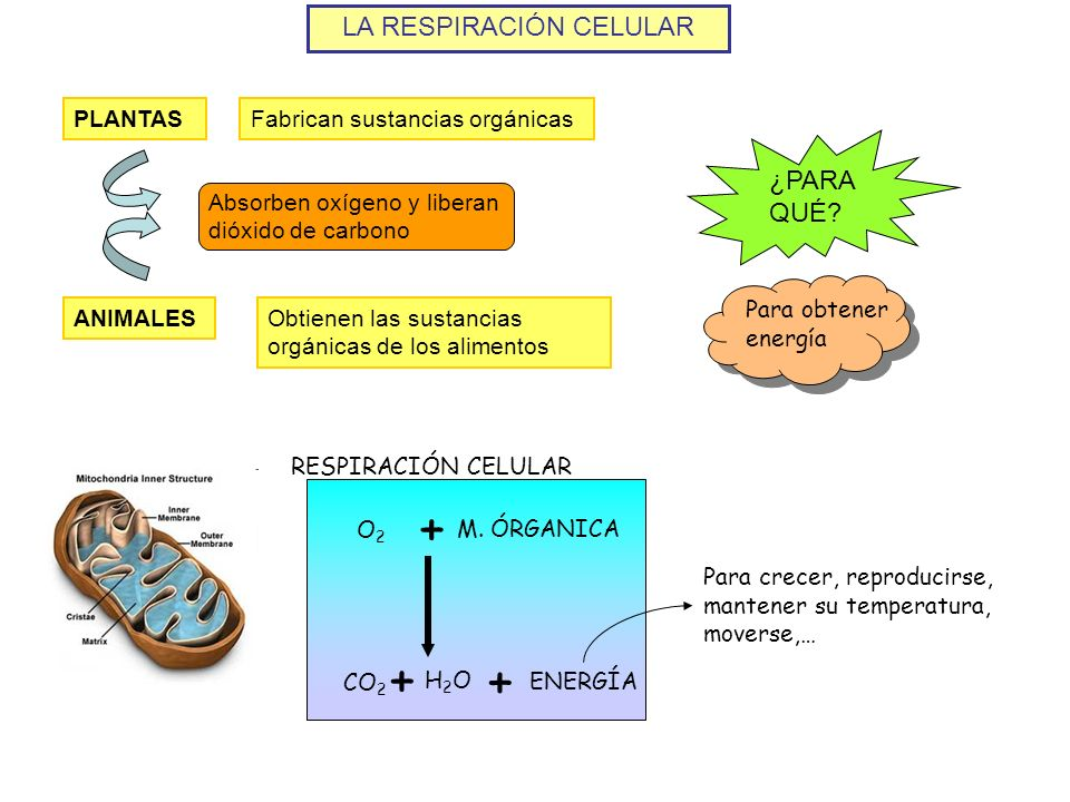 LA RESPIRACIÓN CELULAR PLANTASFabrican sustancias orgánicas ANIMALESObtienen las sustancias orgánicas de los alimentos Absorben oxígeno y liberan dióx