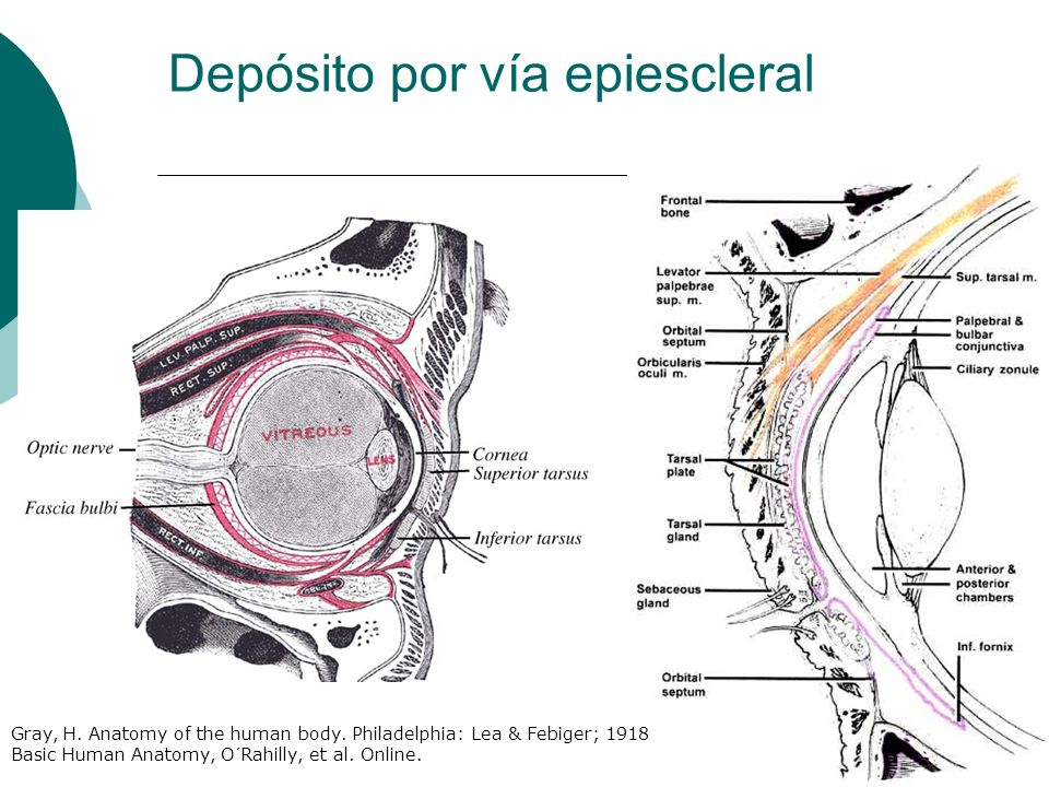 Depósito por vía epiescleral Gray, H. Anatomy of the human body. Philadelphia: Lea & Febiger; 1918 Basic Human Anatomy, O´Rahilly, et al. Online.