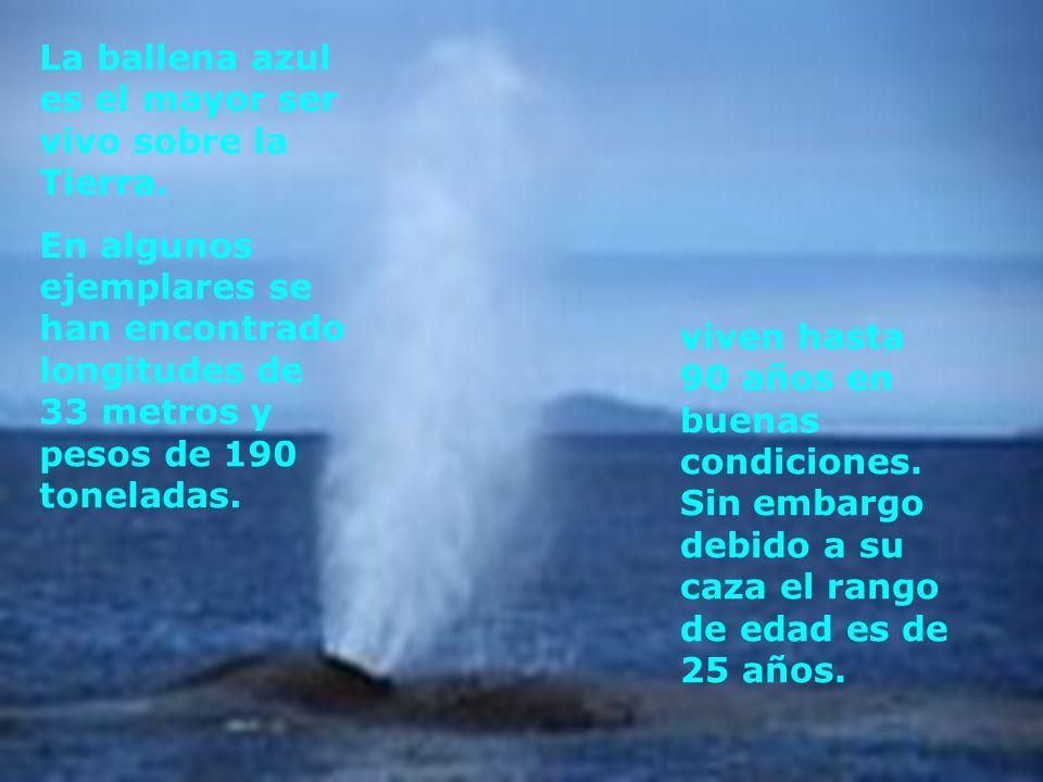 La ballena azul es el mayor ser vivo sobre la Tierra. En algunos ejemplares se han encontrado longitudes de 33 metros y pesos de 190 toneladas. viven