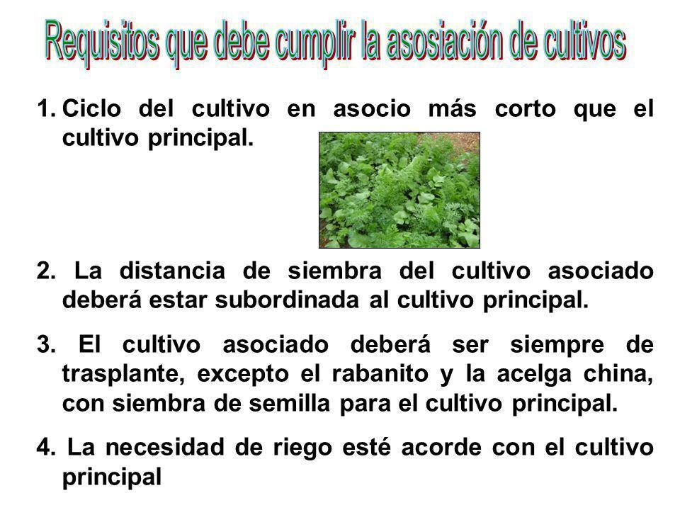 1.Ciclo del cultivo en asocio más corto que el cultivo principal. 2. La distancia de siembra del cultivo asociado deberá estar subordinada al cultivo