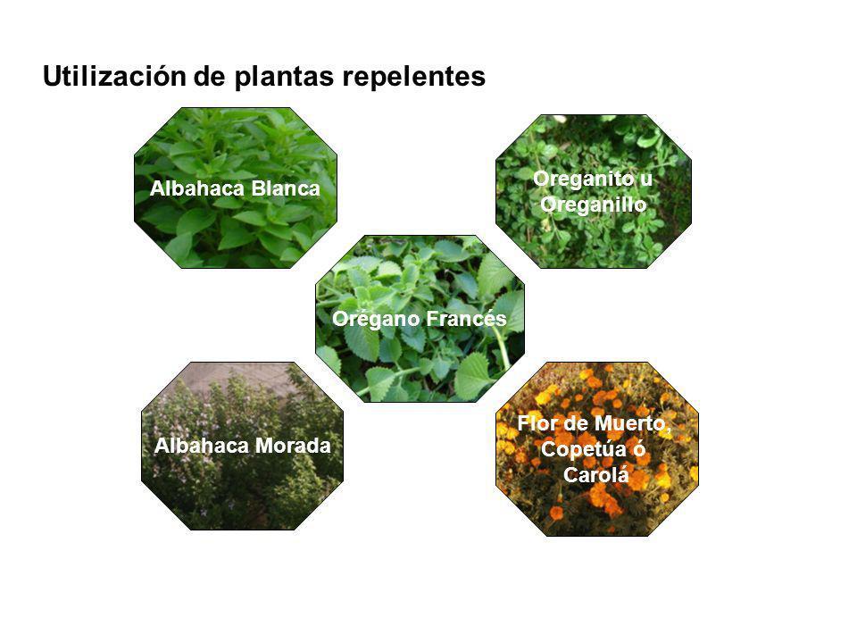 Utilización de plantas repelentes Albahaca Blanca Orégano Francés Albahaca Morada Flor de Muerto, Copetúa ó Carolá Oreganito u Oreganillo