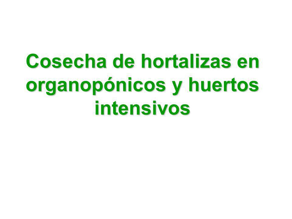 Cosecha de hortalizas en organopónicos y huertos intensivos
