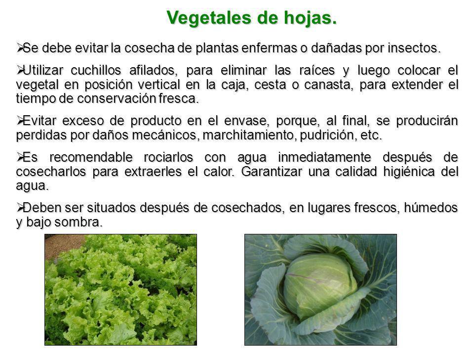 Vegetales de hojas. Se debe evitar la cosecha de plantas enfermas o dañadas por insectos. Se debe evitar la cosecha de plantas enfermas o dañadas por