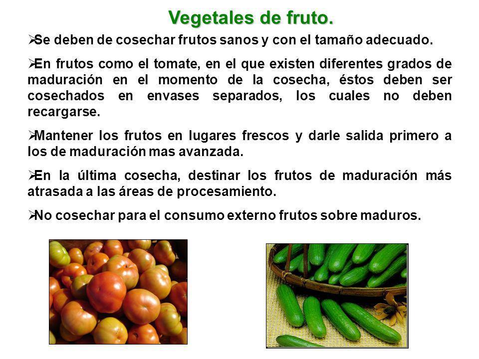 Vegetales de fruto. Se deben de cosechar frutos sanos y con el tamaño adecuado. En frutos como el tomate, en el que existen diferentes grados de madur