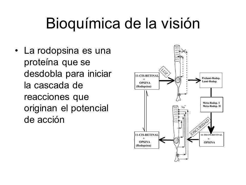 Bioquímica de la visión La rodopsina es una proteína que se desdobla para iniciar la cascada de reacciones que originan el potencial de acción