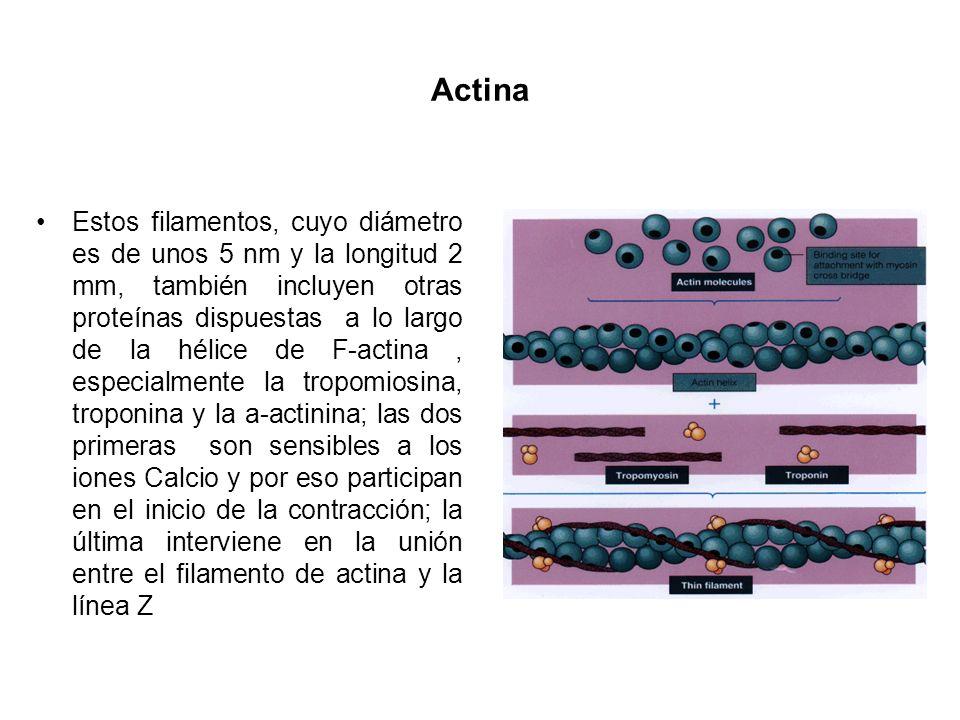 Actina Estos filamentos, cuyo diámetro es de unos 5 nm y la longitud 2 mm, también incluyen otras proteínas dispuestas a lo largo de la hélice de F-ac