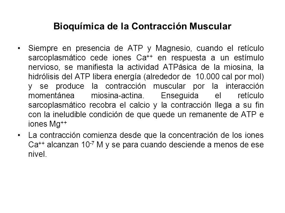 Bioquímica de la Contracción Muscular Siempre en presencia de ATP y Magnesio, cuando el retículo sarcoplasmático cede iones Ca ++ en respuesta a un es
