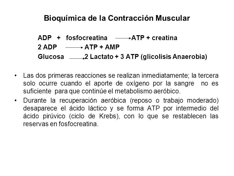 Bioquímica de la Contracción Muscular ADP + fosfocreatina ATP + creatina 2 ADP ATP + AMP Glucosa 2 Lactato + 3 ATP (glicolisis Anaerobia) Las dos prim