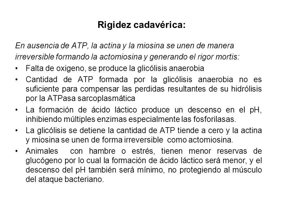 Rigidez cadavérica: En ausencia de ATP, la actina y la miosina se unen de manera irreversible formando la actomiosina y generando el rigor mortis: Fal
