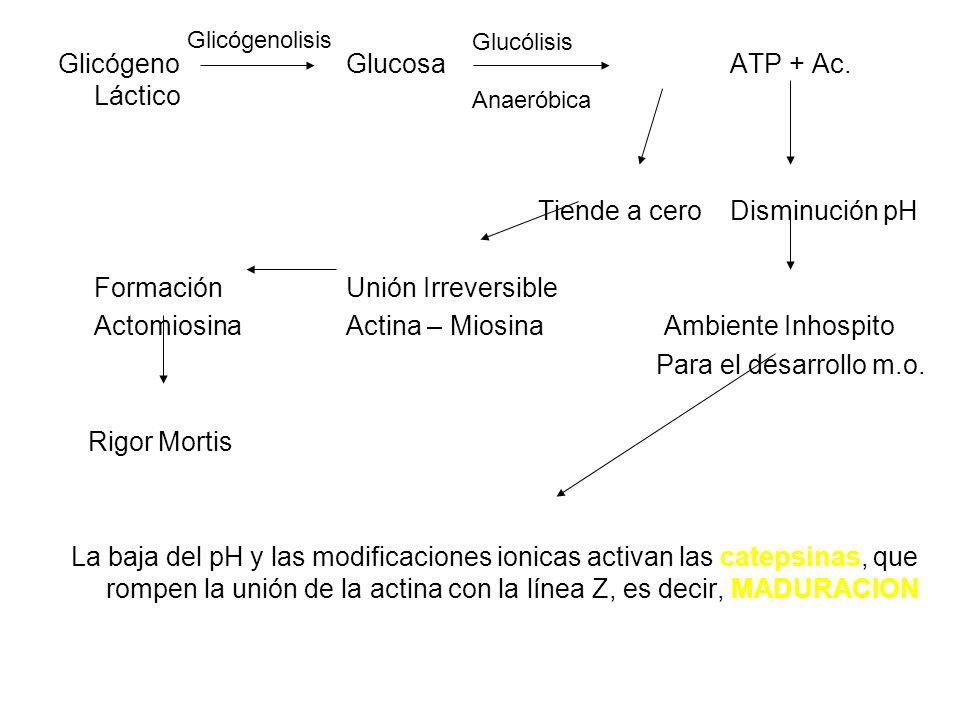GlicógenoGlucosaATP + Ac. Láctico Tiende a ceroDisminución pH FormaciónUnión Irreversible ActomiosinaActina – Miosina Ambiente Inhospito Para el desar
