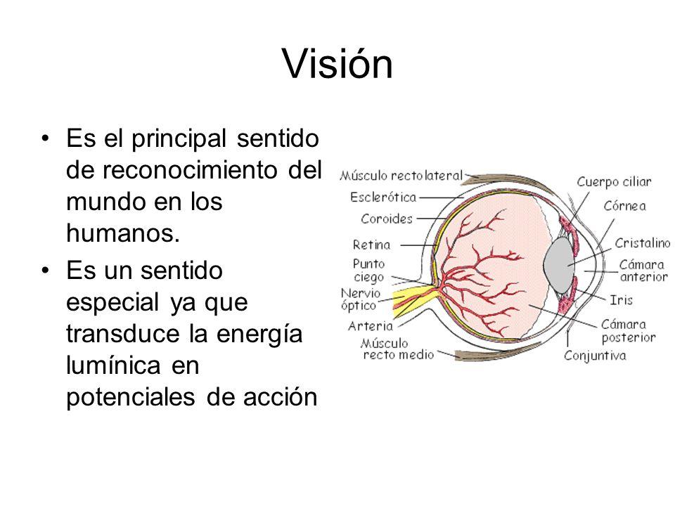 Visión Es el principal sentido de reconocimiento del mundo en los humanos. Es un sentido especial ya que transduce la energía lumínica en potenciales