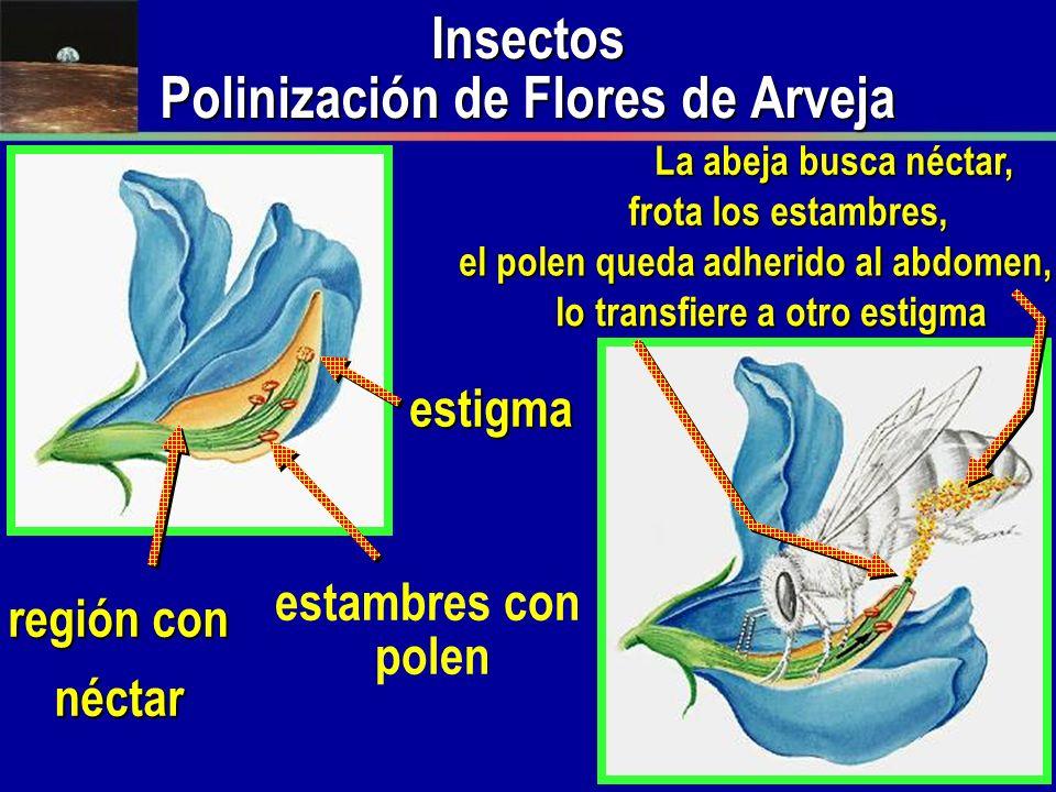 Insectos Polinización de Flores de Arveja estambres con polen región con néctar La abeja busca néctar, frota los estambres, el polen queda adherido al