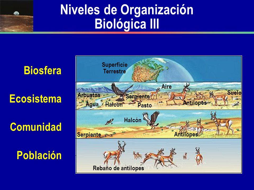 Niveles de Organización Biológica III Población Rebaño de antílopes Halcón Agua Superficie Terrestre Comunidad Ecosistema Biosfera Antílopes Halcón Pa