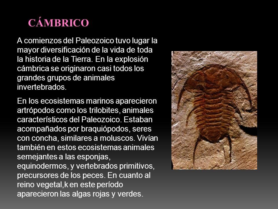 CÁMBRICO A comienzos del Paleozoico tuvo lugar la mayor diversificación de la vida de toda la historia de la Tierra. En la explosión cámbrica se origi