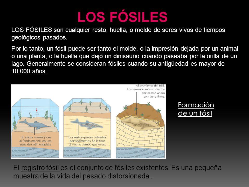 El registro fósil es el conjunto de fósiles existentes. Es una pequeña muestra de la vida del pasado distorsionada. Formación de un fósil LOS FÓSILES