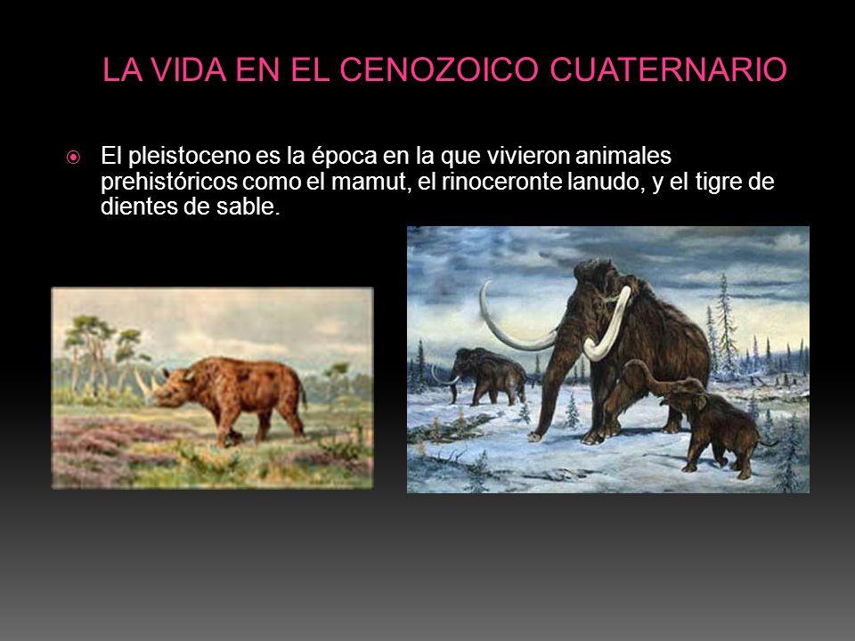El pleistoceno es la época en la que vivieron animales prehistóricos como el mamut, el rinoceronte lanudo, y el tigre de dientes de sable. LA VIDA EN