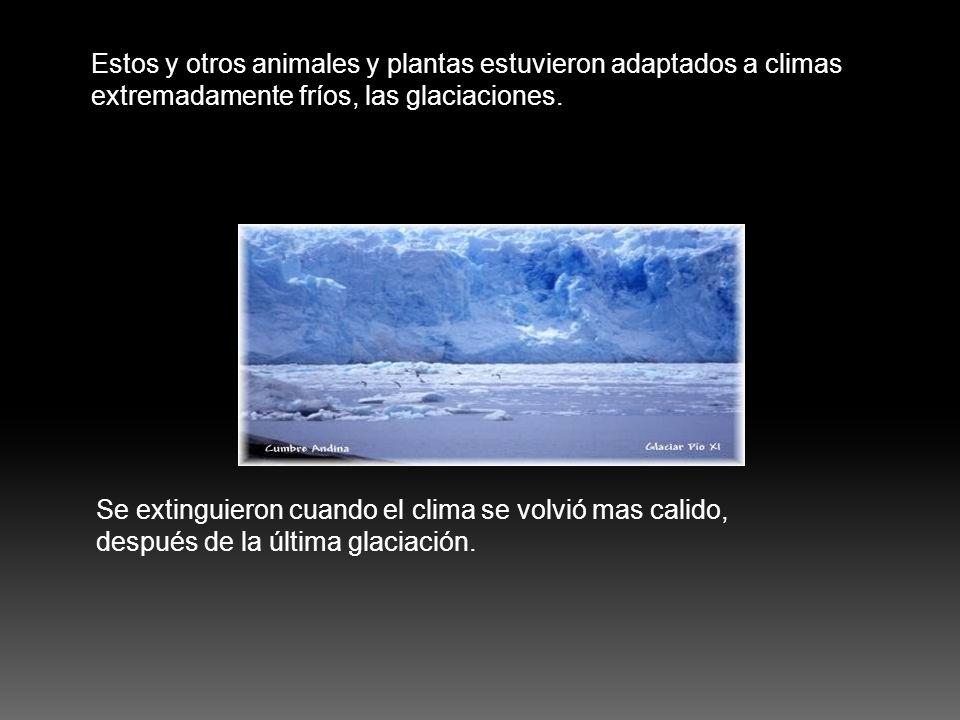 Estos y otros animales y plantas estuvieron adaptados a climas extremadamente fríos, las glaciaciones. Se extinguieron cuando el clima se volvió mas c