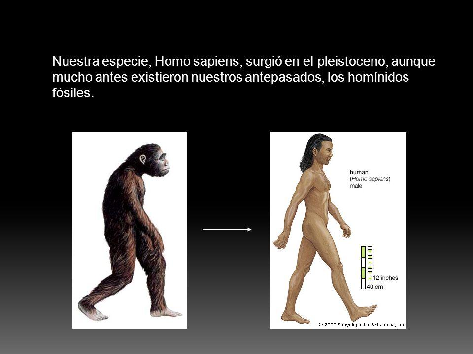 Nuestra especie, Homo sapiens, surgió en el pleistoceno, aunque mucho antes existieron nuestros antepasados, los homínidos fósiles.