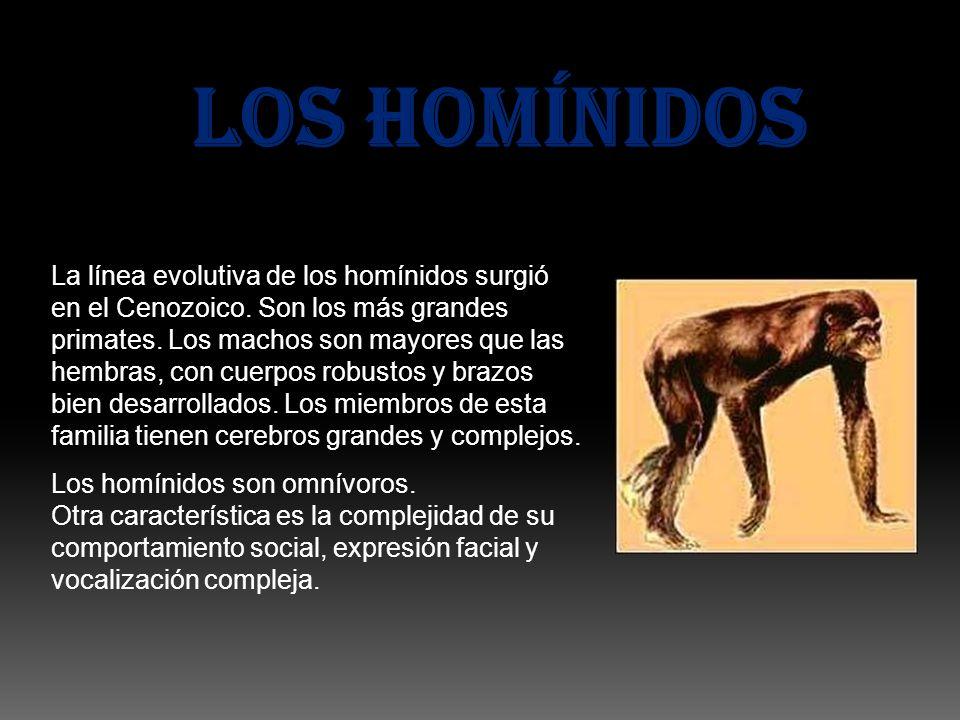 LOS HOMÍNIDOS La línea evolutiva de los homínidos surgió en el Cenozoico. Son los más grandes primates. Los machos son mayores que las hembras, con cu