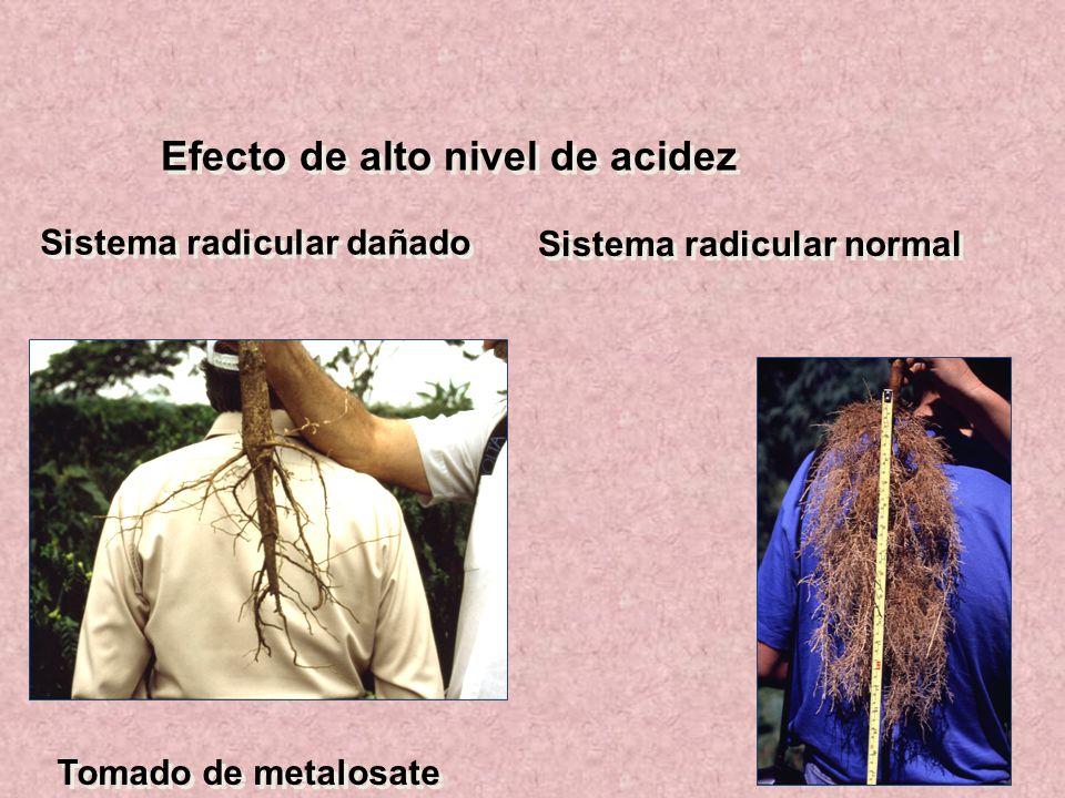 Efecto de alto nivel de acidez Sistema radicular dañado Sistema radicular normal Tomado de metalosate
