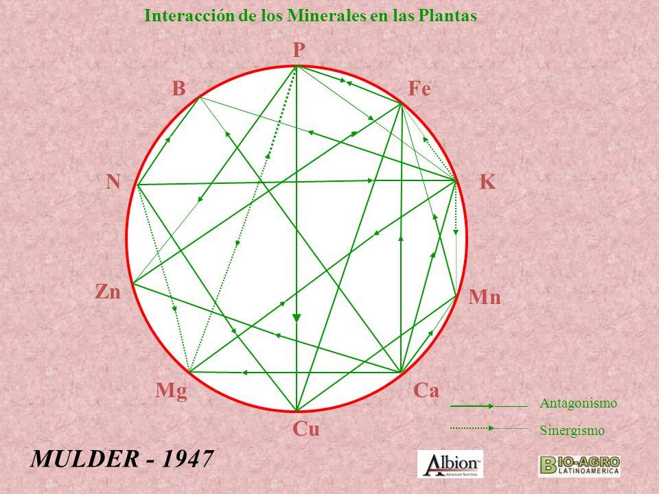 P Cu Fe Ca K Mn B N Zn Mg Antagonismo Sinergismo MULDER - 1947 Interacción de los Minerales en las Plantas