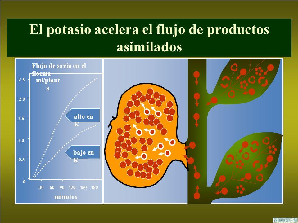El potasio acelera el flujo de productos asimilados Flujo de savia en el floema alto en K bajo en K minutos 306090120150180 0 2.5 1.5 1.0 0.5 2.0 ml/p