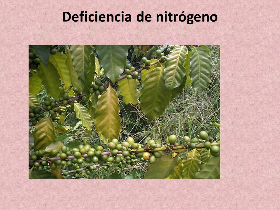 Deficiencia de nitrógeno